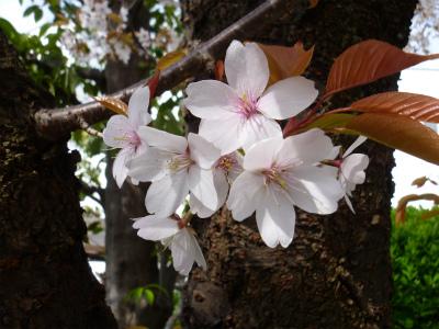 s002 2012.4.7 家の桜.jpg