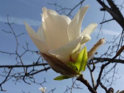 s009 2012.4.2 辛夷の花.jpg